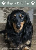 Miniature Long Haired Dachshund-Happy Birthday (No Theme)